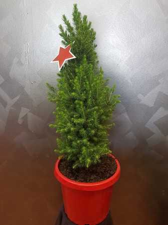 Christmas Tree Potted Plant